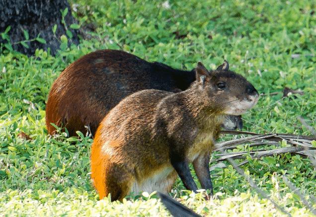 Agutí - Wiki Animales