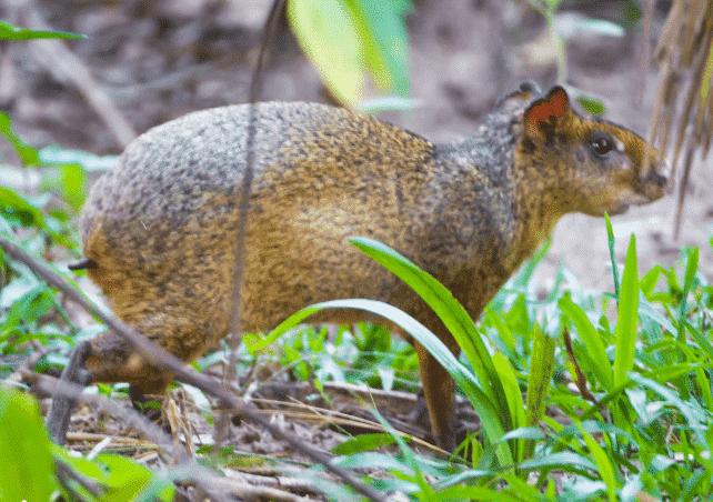 Agutí caminando por el bosque - Wiki Animales