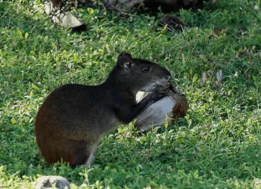 Agutí comiendo - Wiki Animales
