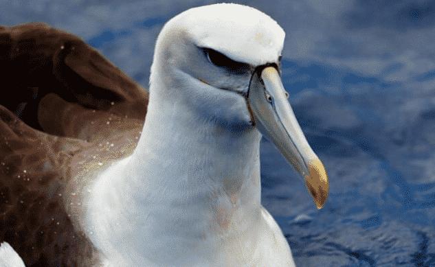 Albatro en el mar - Wiki Animales