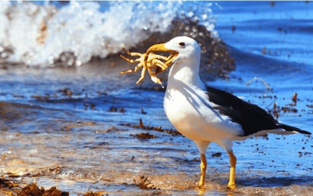 Albatro pesca cangrejo - Wiki Animales