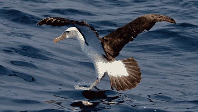 Albatro pescando - Wiki Animales