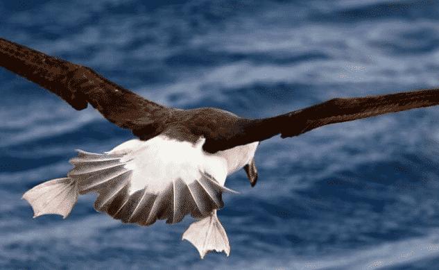 Albatro volando - Wiki Animales