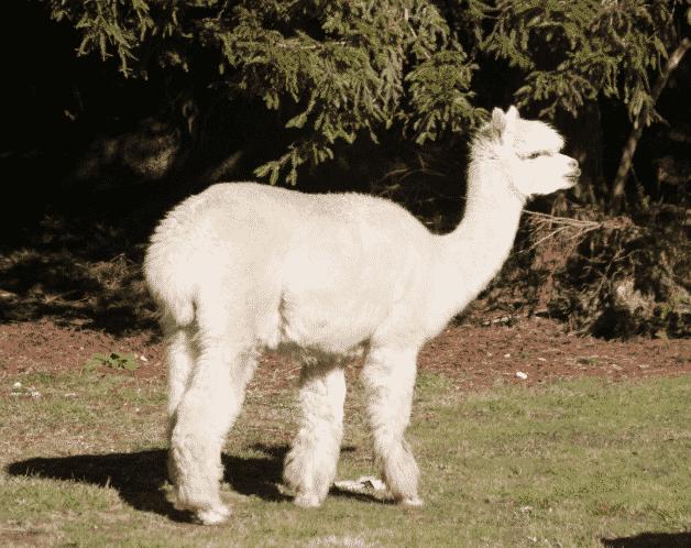 Alpaca - Wiki Animales