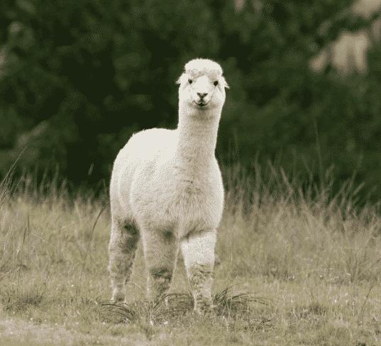 Alpaca por el campo - Wiki Animales