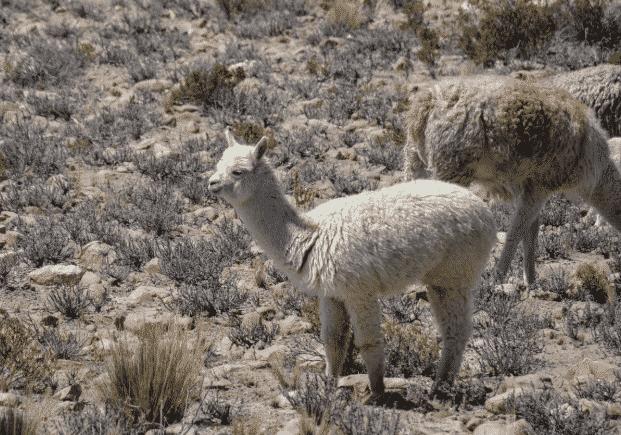 Alpacas en el monte - Wiki Animales