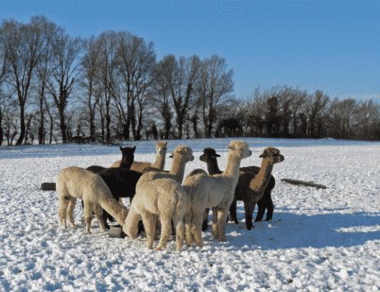 Alpacas en la nieve - Wiki Animales