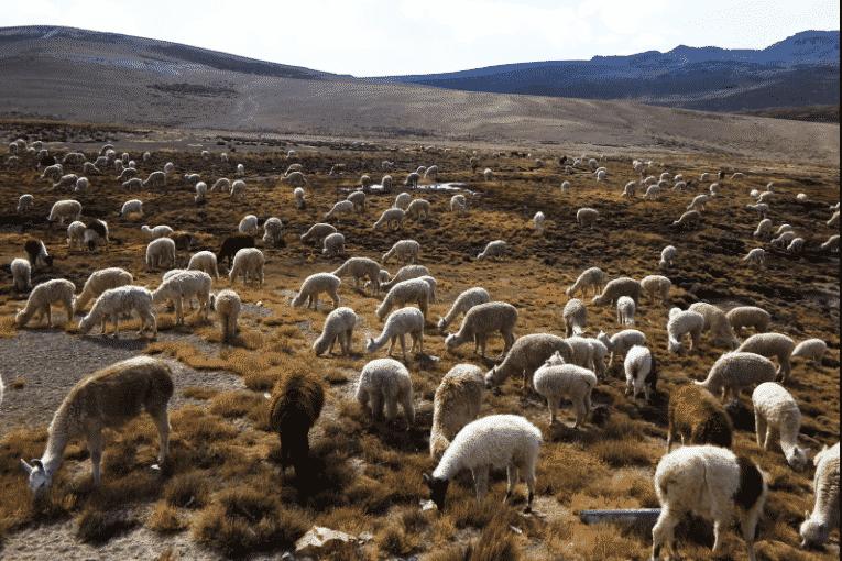 Alpacas pastando en las llanuras - Wiki Animales