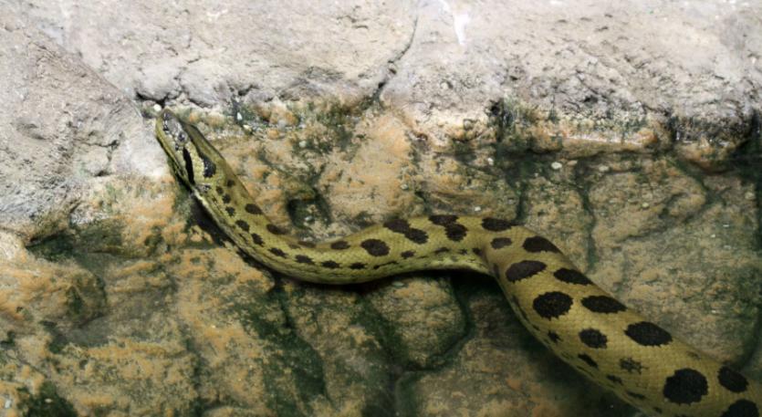 Anaconda en el agua - Wiki Animales