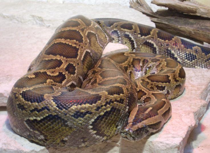 Anaconda enrosacada - Wiki Animales