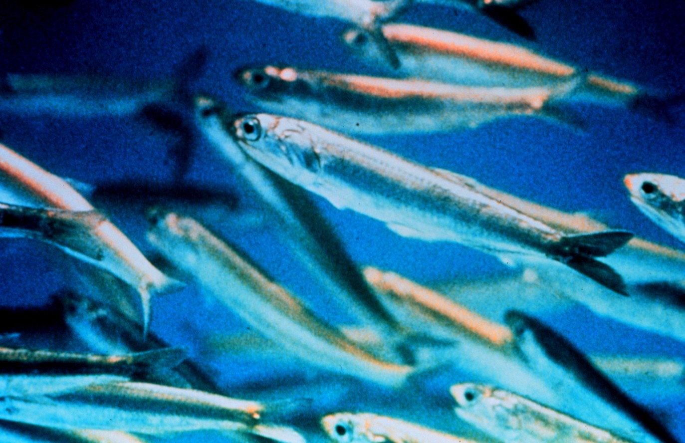 Anchoa - Wiki Animales