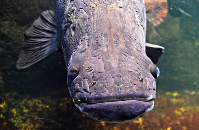 Arapaima visto de frente - Wiki Animales