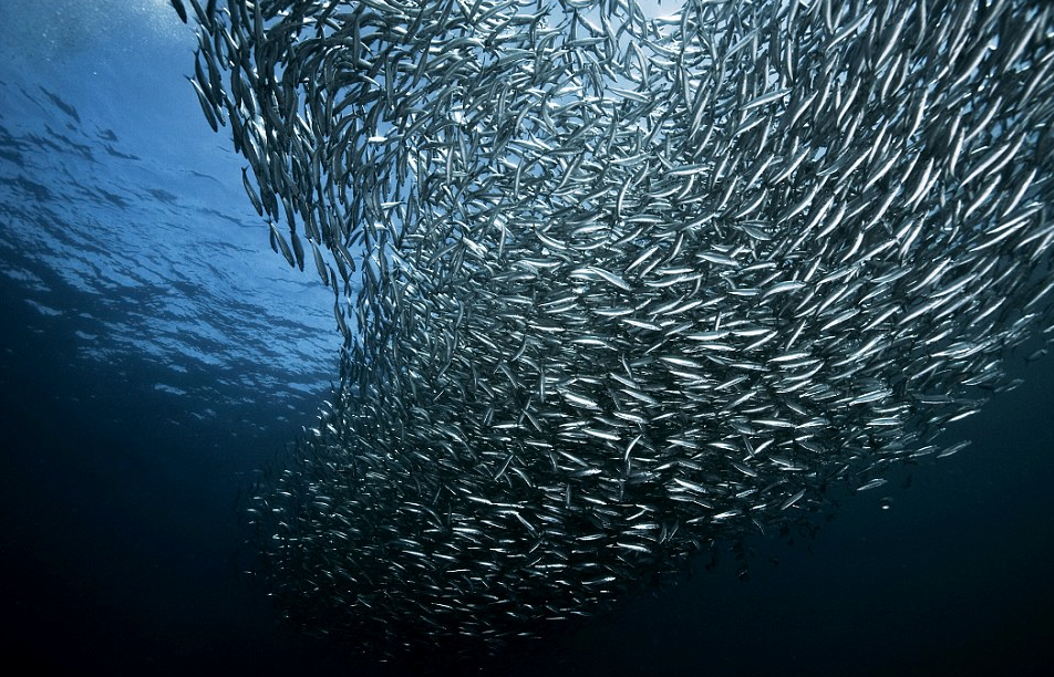 Banco de anchoas en el mar - Wiki Animales