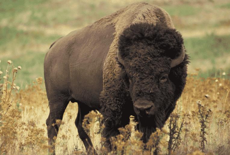 Bisonte americano - Wiki Animales