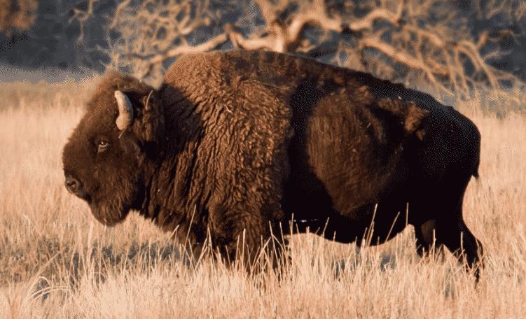 Bisonte americano al atardecer - Wiki Animales