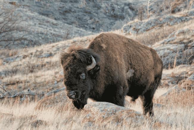 Bisonte americano en la montaña - Wiki Animales
