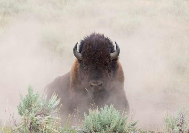 Bisonte americano levantando polvo - Wiki Animales