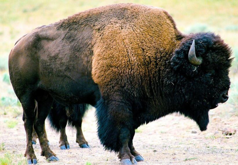 Bisonte americano piel - Wiki Animales