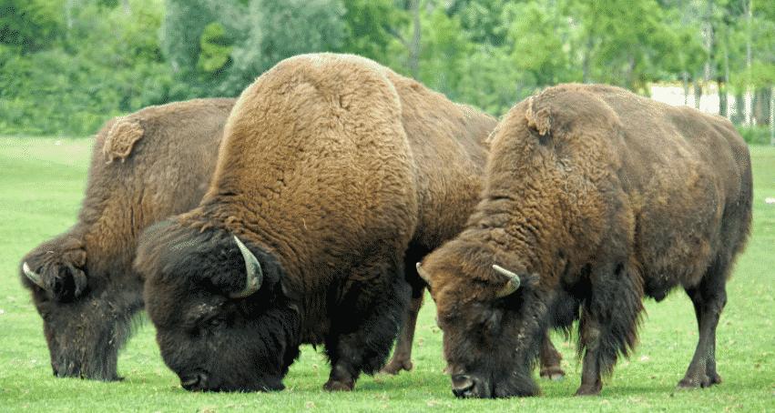 Bisontes americanos comiendo hierba - Wiki Animales