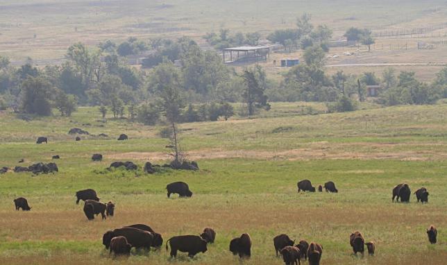 Bisontes americanos en una pradera - Wiki Animales