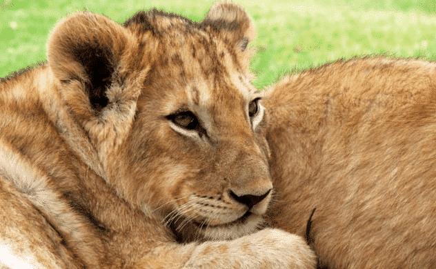 Cachorro de león africano con su mamá - Wiki Animales