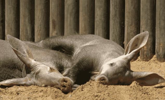 Cerdo Hormiguero descansando - Wiki Animales