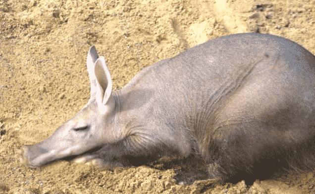 Cerdo Hormiguero durmiendo - Wiki Animales