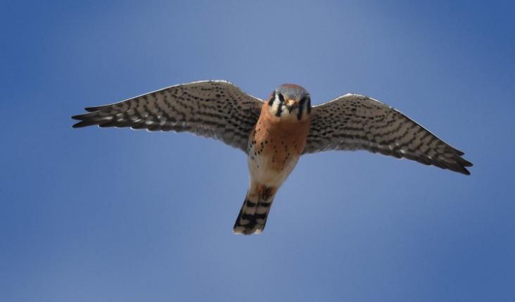 Cernícalo americano con alas extendidas - Wiki Animales