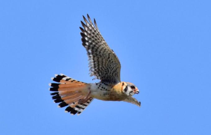 Cernícalo americano volando - Wiki Animales