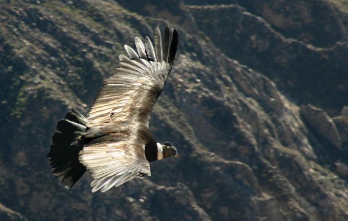 Cóndor Andino volando en las montañas - Wiki Animales