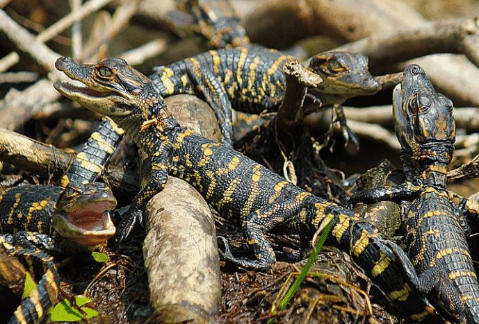 Crías de Caimán - Wiki Animales
