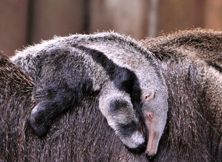 Cría de Oso Hormiguero - Wiki Animales