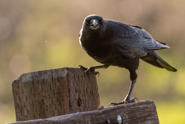 Cuervo americano amenazante - Wiki Animales
