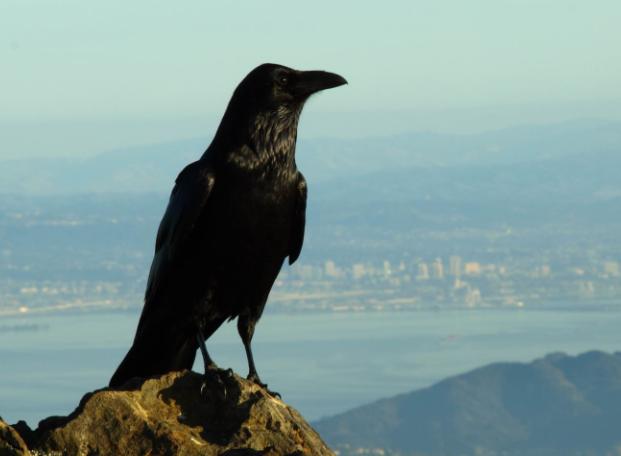 Cuervo americano en la ciudad - Wiki Animales