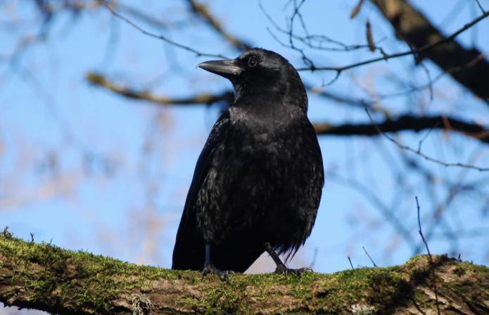 Cuervo americano en un árbol - Wiki Animales