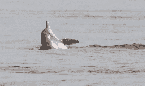 Delfín rosado nadando - Wiki Animales