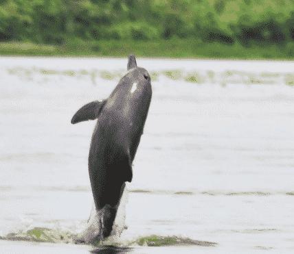 Delfín rosado saltando - Wiki Animales