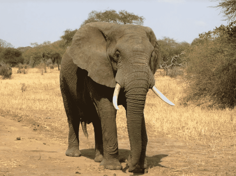 Elefante Africano - Wiki Animales