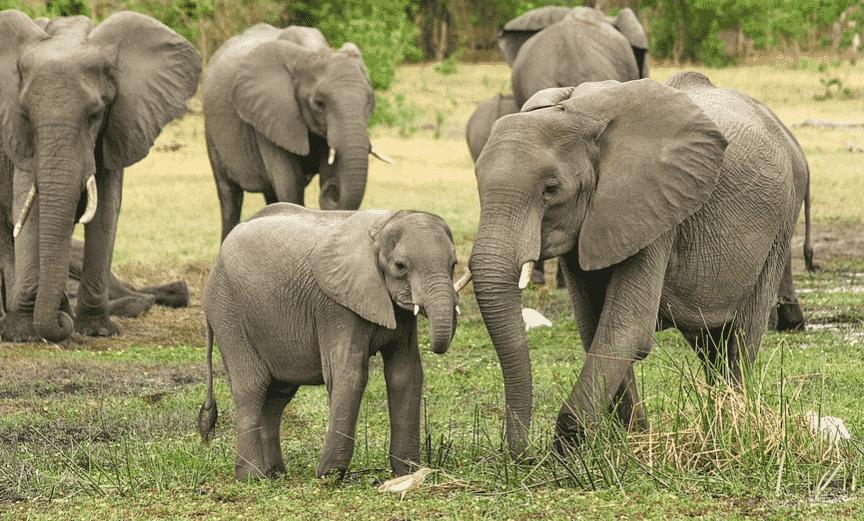 Familia de Elefantes Africanos - Wiki Animales