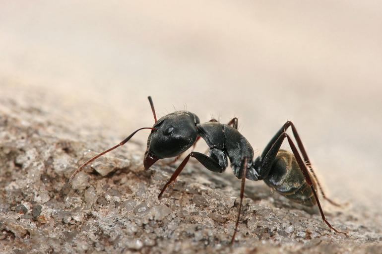 Hormiga - Wiki Animales