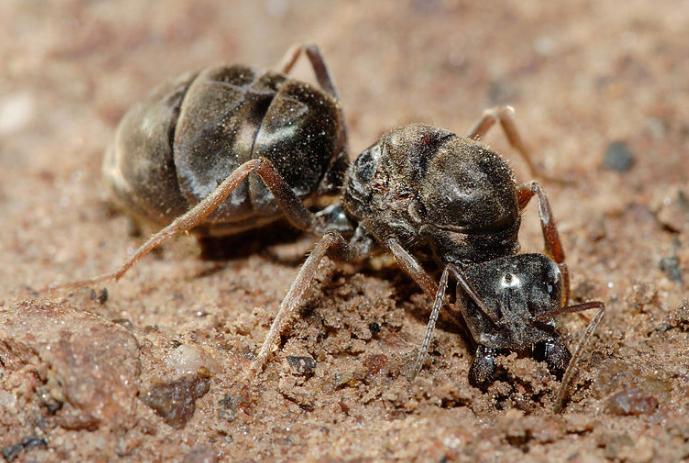 Hormiga reina - Wiki Animales