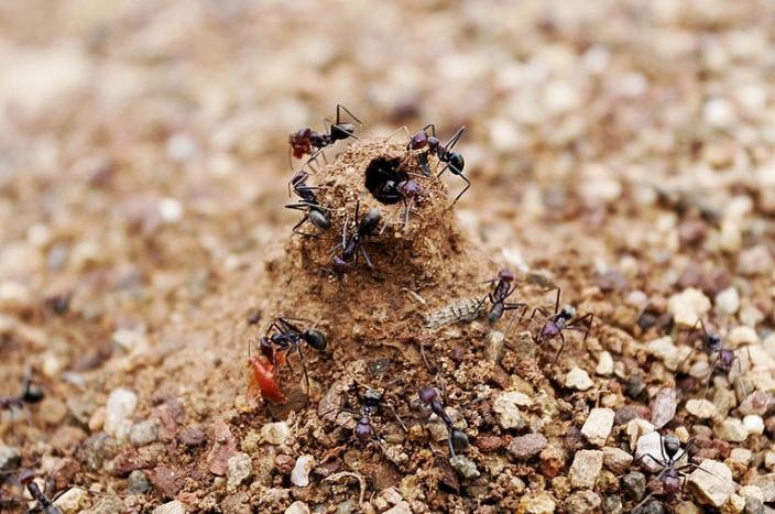 Hormigas construyendo hormiguero - Wiki Animales