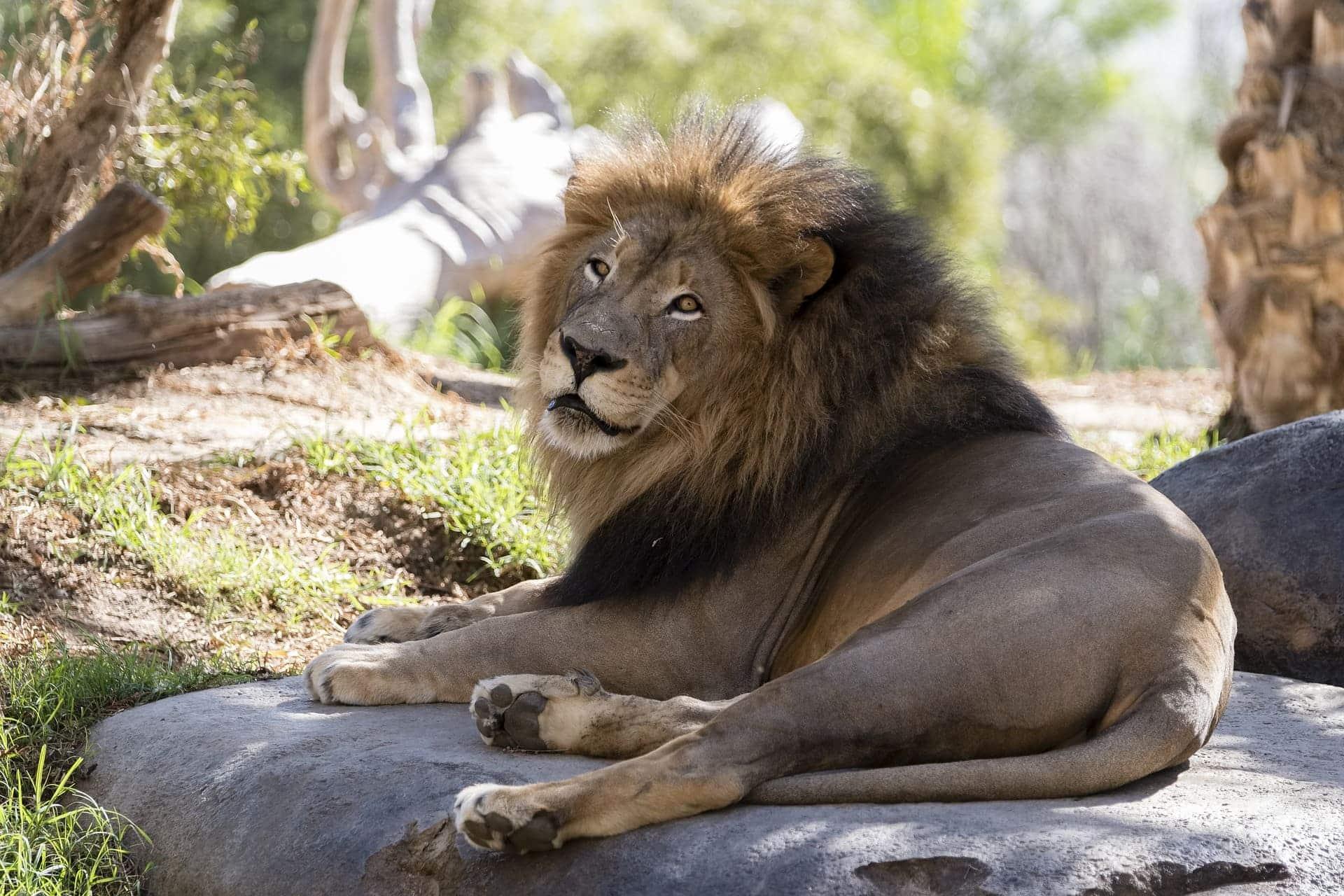 León Africano - Wiki Animales