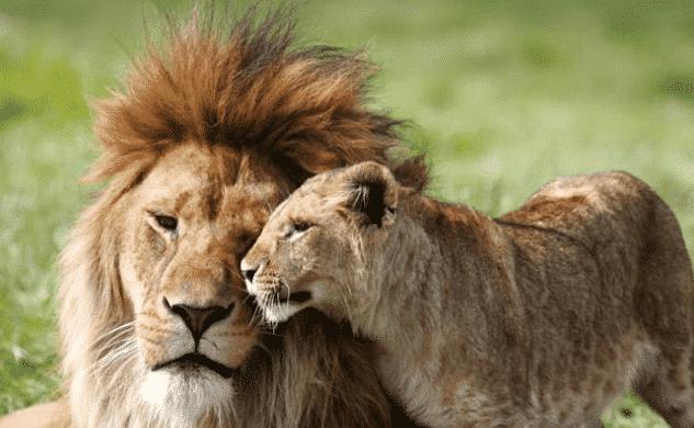 León africano con su cachorro - Wiki Animales