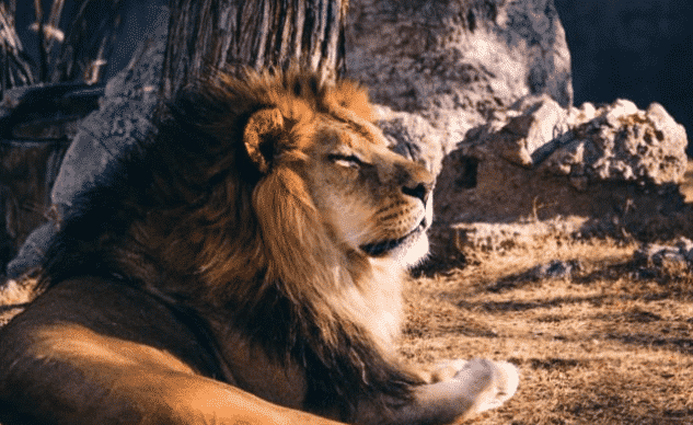 León africano descansando - Wiki Animales