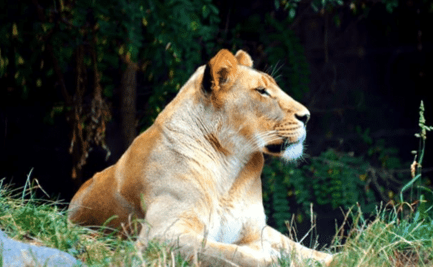 Leona africana - Wiki Animales