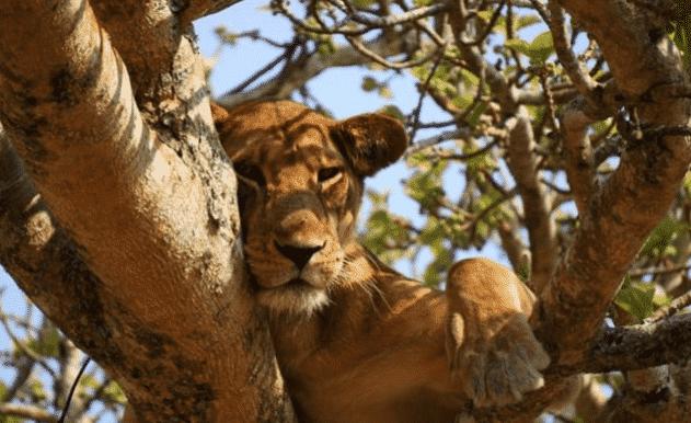 Leona africana en un árbol - Wiki Animales