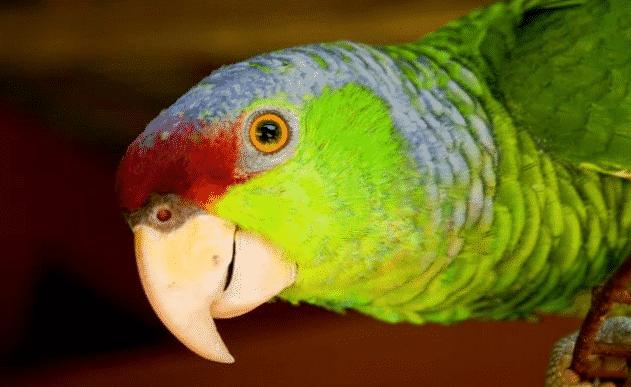 Loro amazonas colores - Wiki Animales
