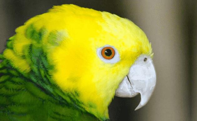 Loro amazonas de cabeza amarilla - Wiki Animales