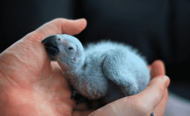 Loro gris africano bebé - Wiki Animales